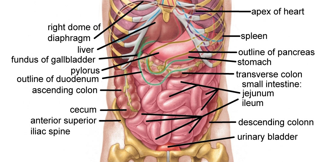 Abdominal Quadrants on thoracic cavity diagram